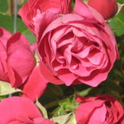 Location: Calgary, Alberta Canada, Kathy's gardenDate: 2011-08-13Rose photo on garden tour