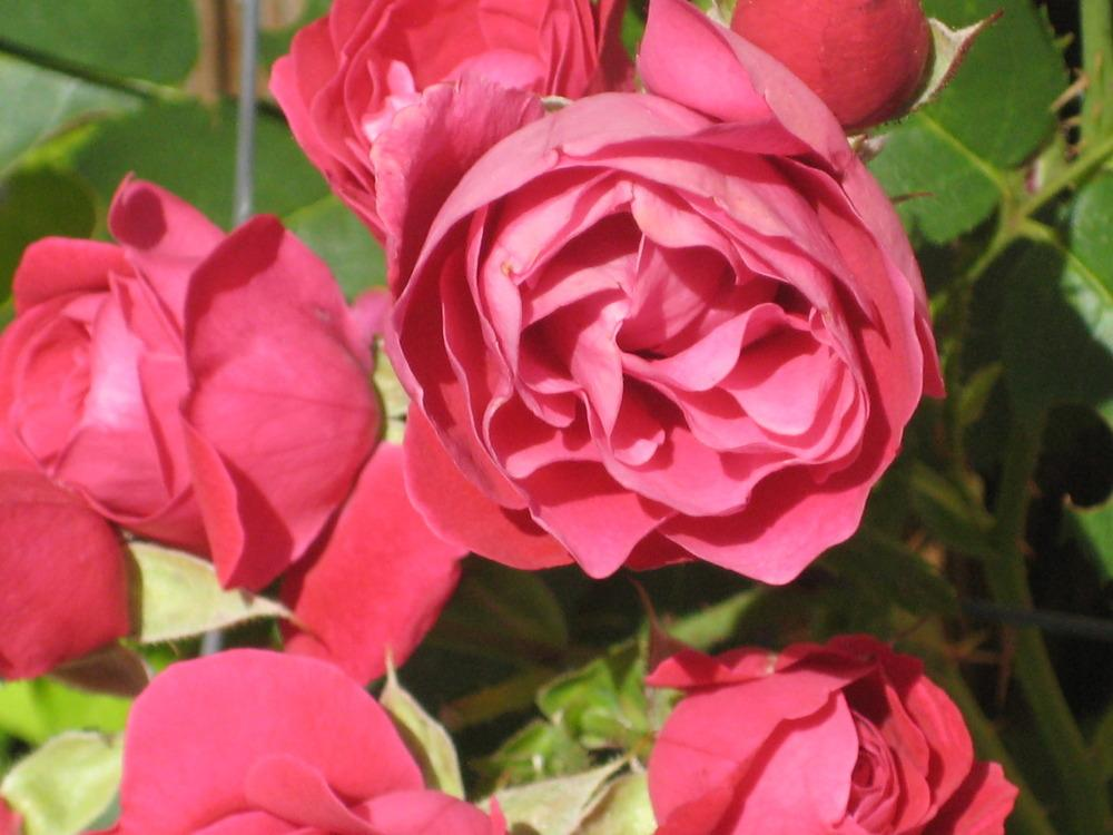 Photo of Rose (Rosa 'Alexander MacKenzie') uploaded by dorab