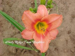 Photo of Daylily (Hemerocallis 'Strawberry Swirl') uploaded by Joy