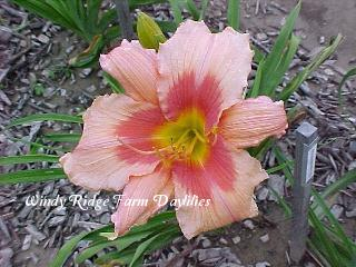 Photo of Daylily (Hemerocallis 'Strawberry Ice') uploaded by Joy