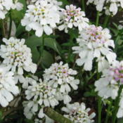 Iberis sempervirens (perennial candytuft). Photo by Heron2 (Heron