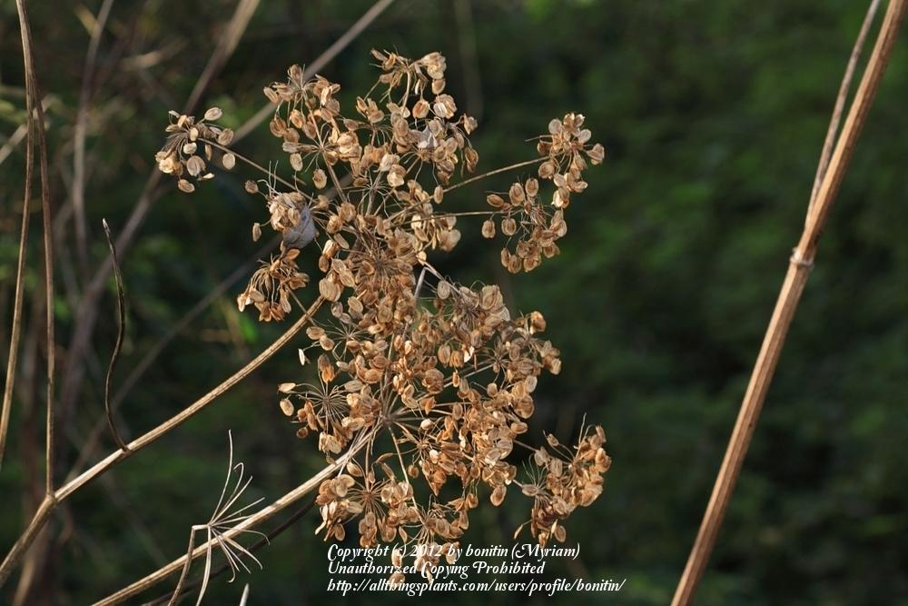 Photo of Cow Parsnip (Heracleum sphondylium) uploaded by bonitin