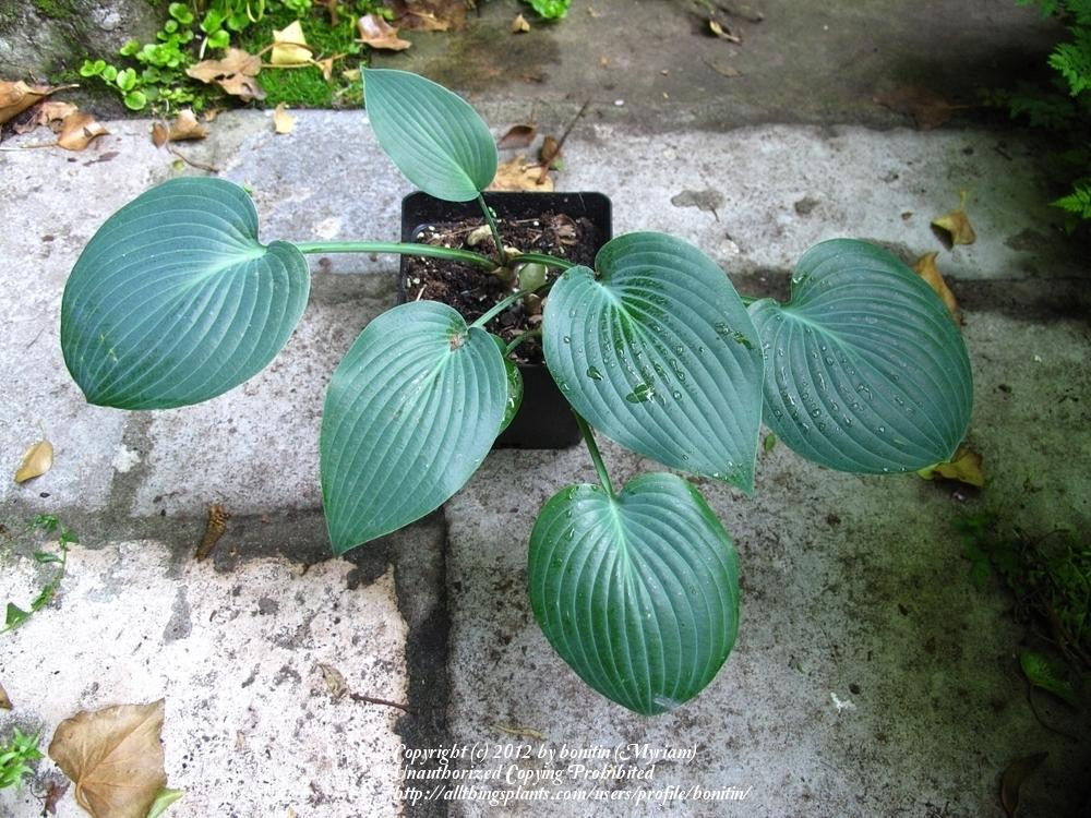 Photo of Hostas (Hosta) uploaded by bonitin