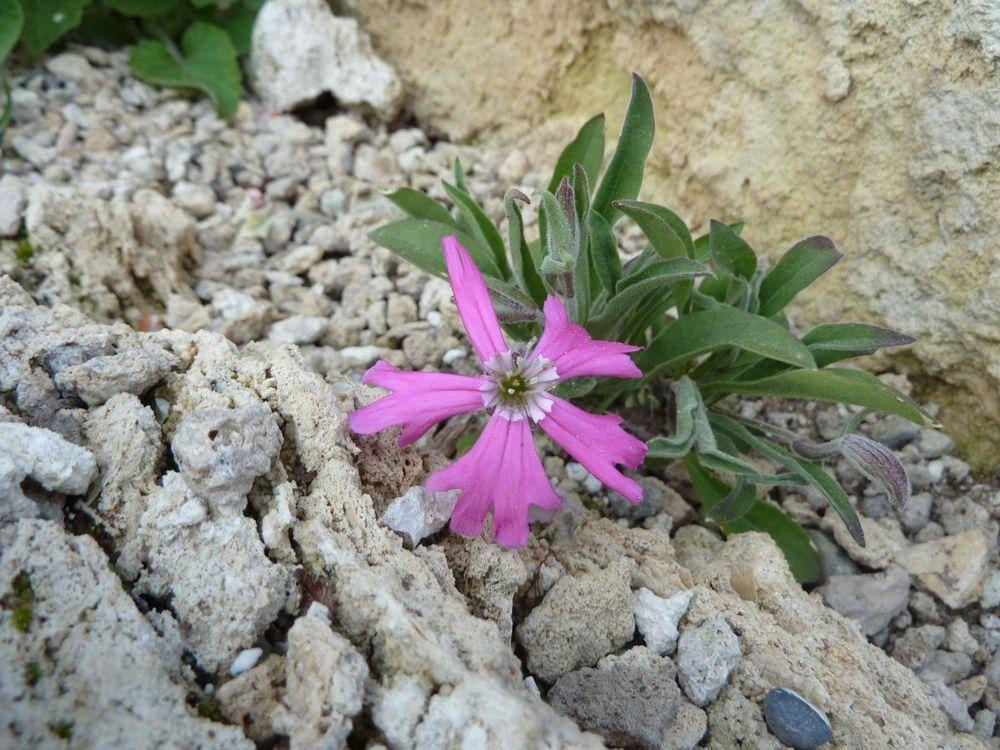Photo of Silene hookeri subsp. hookeri uploaded by growitall