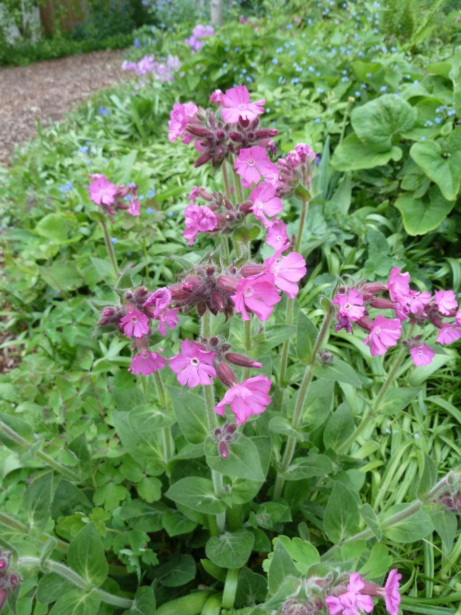 Photo of Catchfly (Silene 'Rolly's Favorite') uploaded by growitall