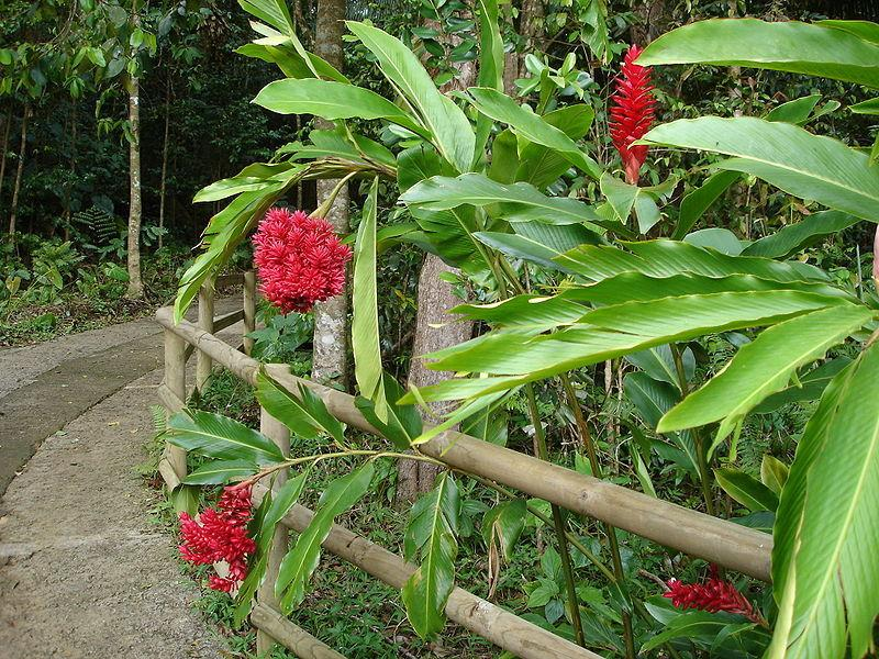 Photo of Red Ginger (Alpinia purpurata) uploaded by SongofJoy