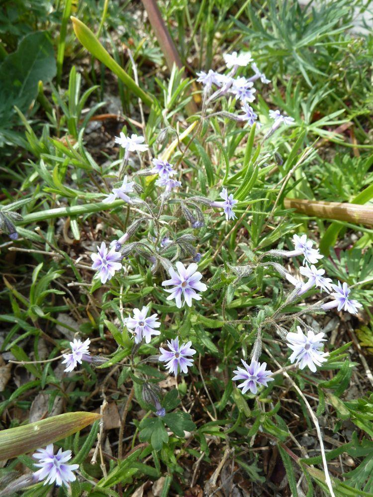 Photo of Sand Phlox (Phlox bifida) uploaded by growitall