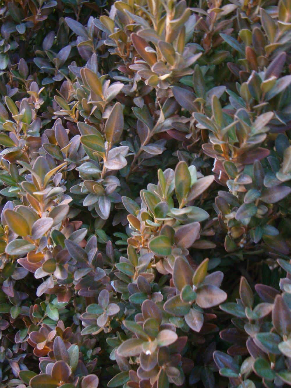 Photo of Common Boxwood (Buxus sempervirens) uploaded by Paul2032