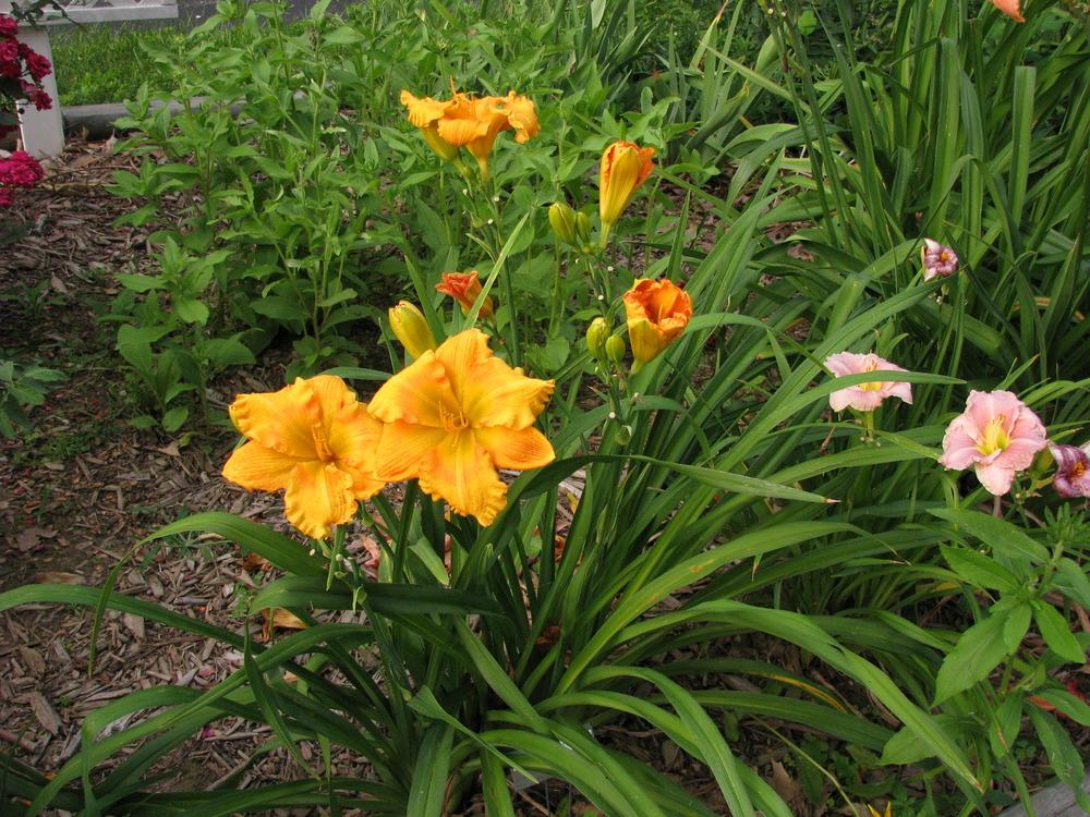 Photo of Daylily (Hemerocallis 'Handsome Ross Carter') uploaded by blue23rose