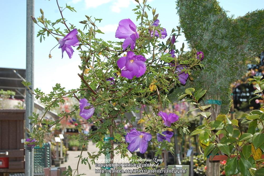 Photo Of The Entire Plant Of Blue Hibiscus Alyogyne Huegelii