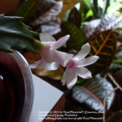 Thumb of 2012-11-27/TexasPlumeria87/3c55e3