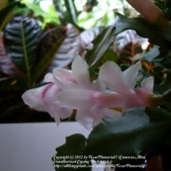 Thumb of 2012-11-27/TexasPlumeria87/48d132