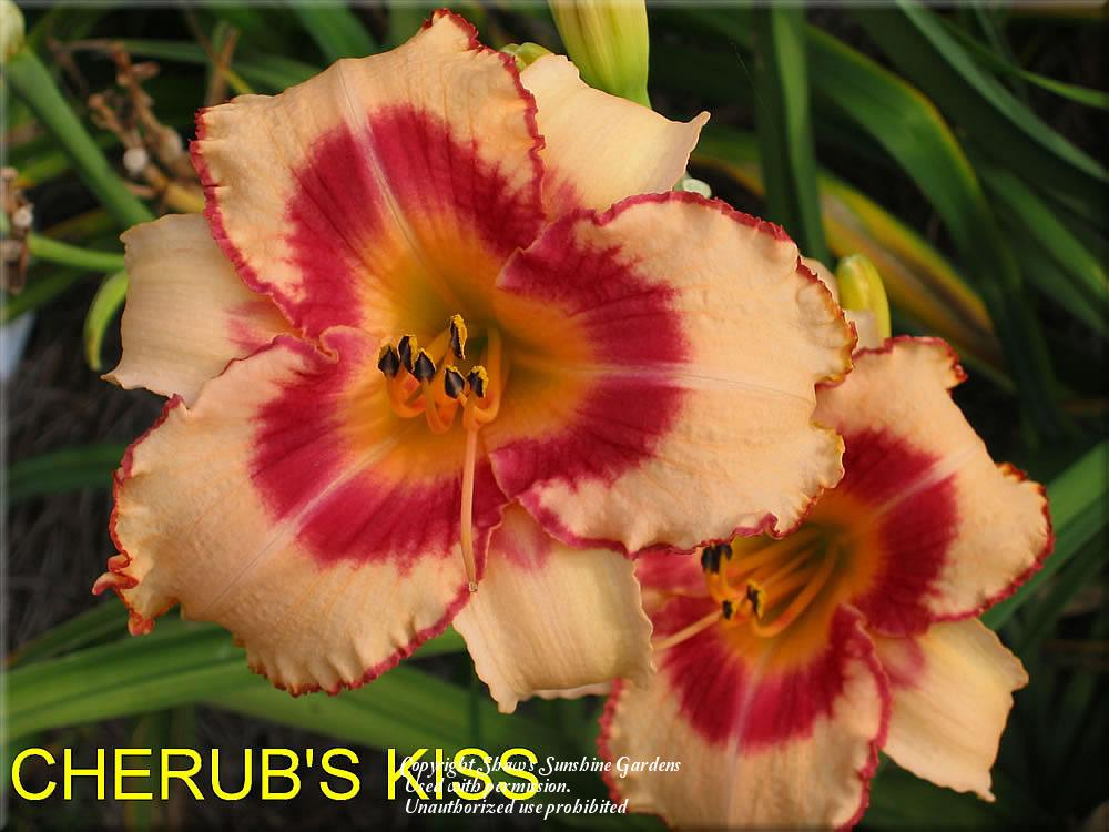 Photo of Daylily (Hemerocallis 'Cherub's Kiss') uploaded by vic