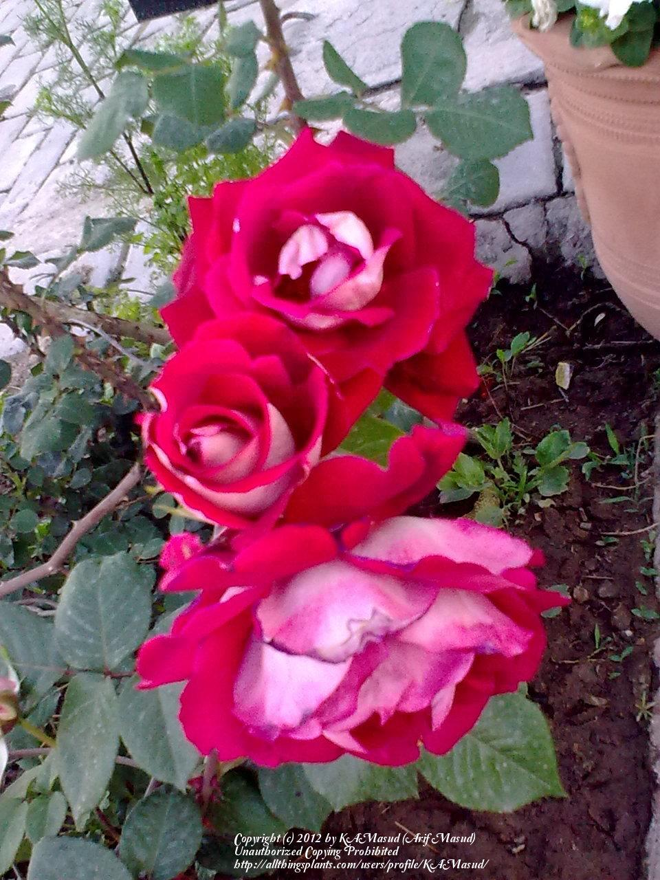 Photo of Roses (Rosa) uploaded by KAMasud