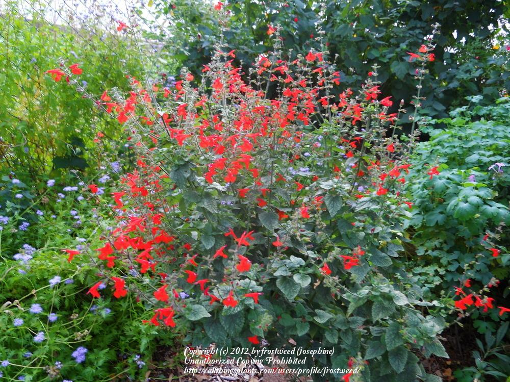 Photo of Scarlet Sage (Salvia coccinea) uploaded by frostweed