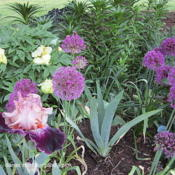 Location: Sun Zone 6aDate: 2012-05-21Planted with Allium Purple Sensation