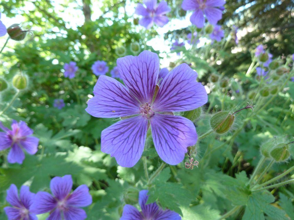 Photo of Geranium (Geranium x magnificum) uploaded by growitall