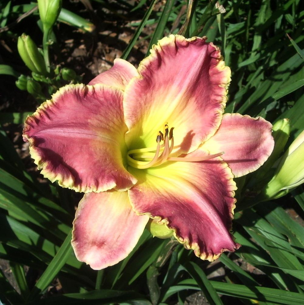 Photo of Daylily (Hemerocallis 'Gail Hughes') uploaded by janicewood549
