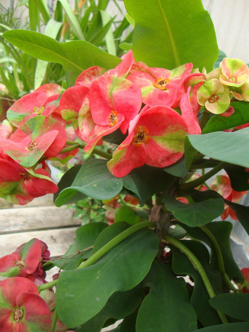 Photo of Crown of Thorns (Euphorbia milii var. splendens 'Red Jillian') uploaded by Paul2032