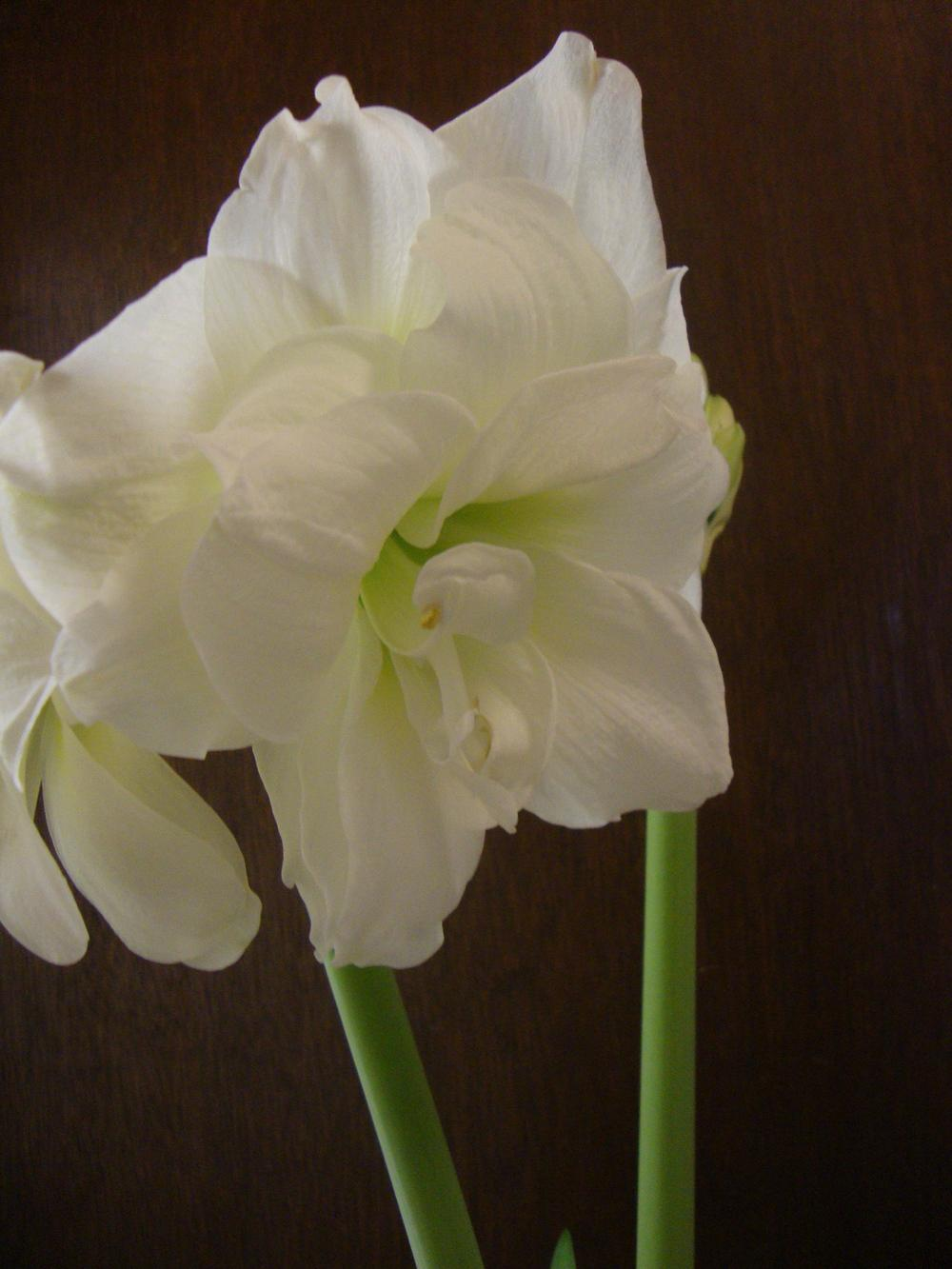 Photo of Amaryllis (Hippeastrum 'Alfresco') uploaded by Paul2032
