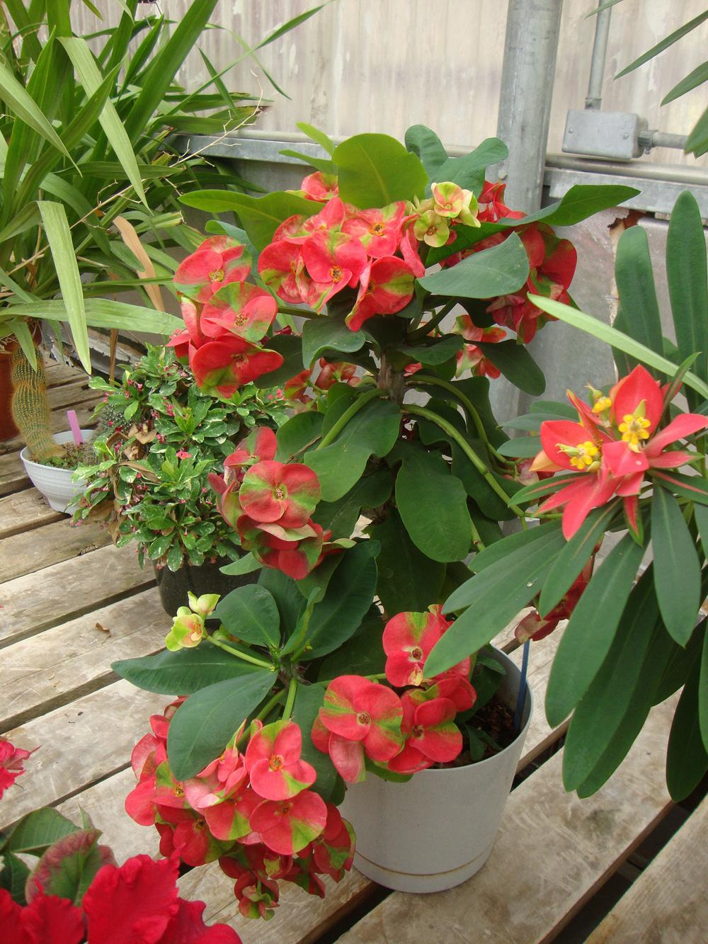 Photo of the bloom of crown of thorns euphorbia milii var for Crown of thorns plant