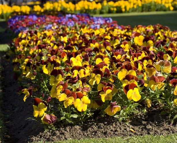 Photo of Violas (Viola) uploaded by SongofJoy