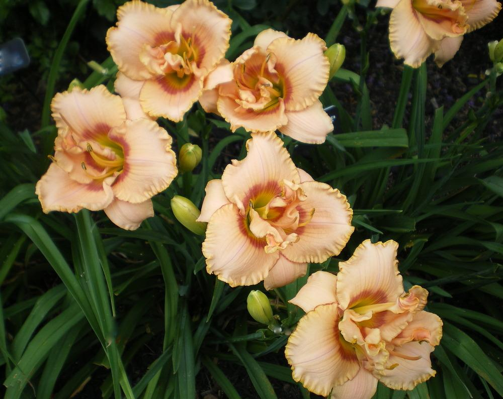 Photo of Daylily (Hemerocallis 'Affair D'Amour') uploaded by janicewood549
