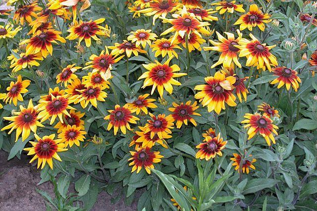Photo of Black-eyed Susan (Rudbeckia hirta 'Cappuccino') uploaded by SongofJoy