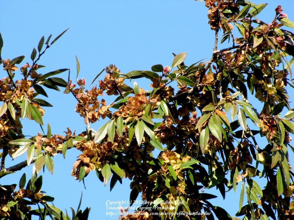 Photo of Chinese Elm (Ulmus parvifolia) uploaded by plantladylin