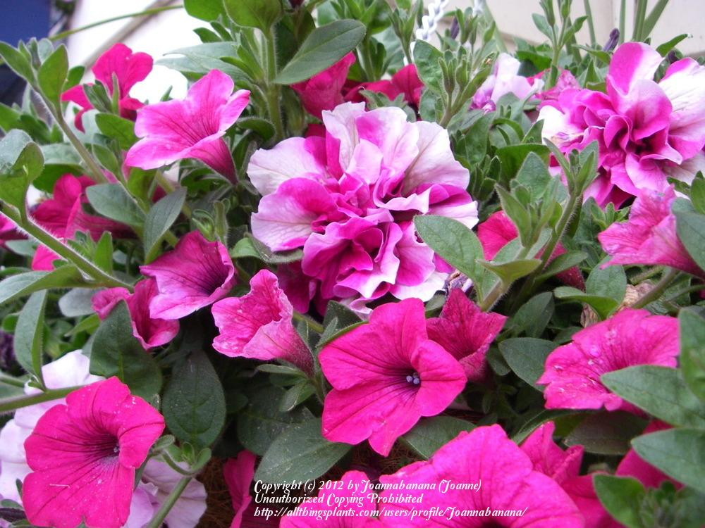 Photo of Double Multiflora Spreading Petunia (Petunia Supertunia® Double Peppermint) uploaded by Joannabanana