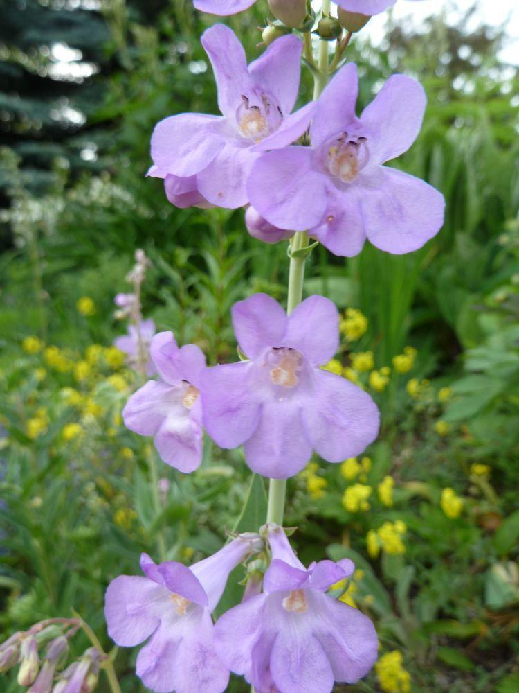 Photo of One-sided Penstemon (Penstemon secundiflorus) uploaded by growitall