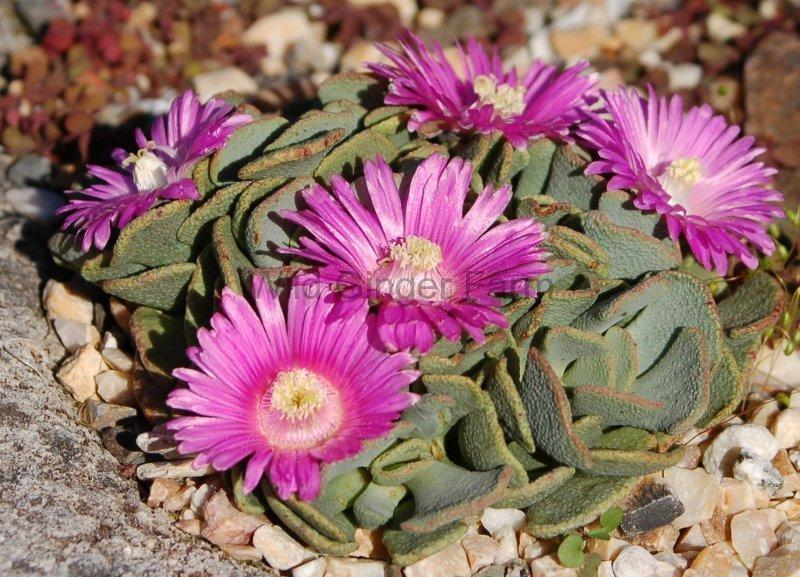 Photo of Hardy Living Stone (Aloinopsis spathulata) uploaded by valleylynn