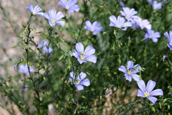 Photo of Wild Blue Flax (Linum lewisii) uploaded by SongofJoy
