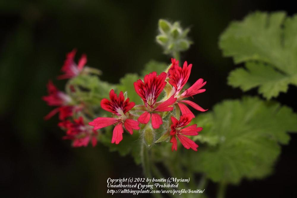 Photo of Scented Geranium (Pelargonium 'Concolor Lace') uploaded by bonitin