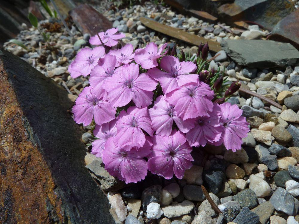 Photo of Dianthus (Dianthus microlepis) uploaded by growitall