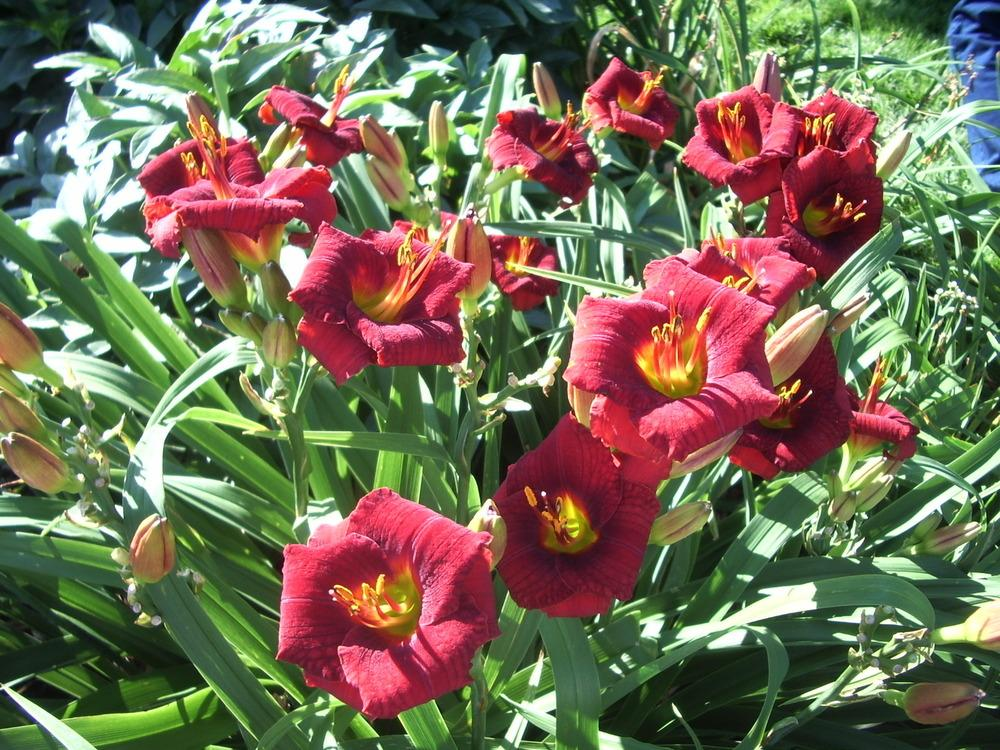 Photo of Daylily (Hemerocallis 'Broadway Attraction') uploaded by janicewood549