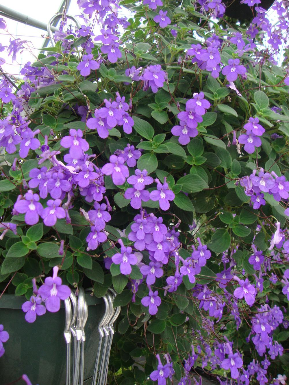 Photo of Cape Primrose (Streptocarpus 'Blue Wonder') uploaded by Paul2032
