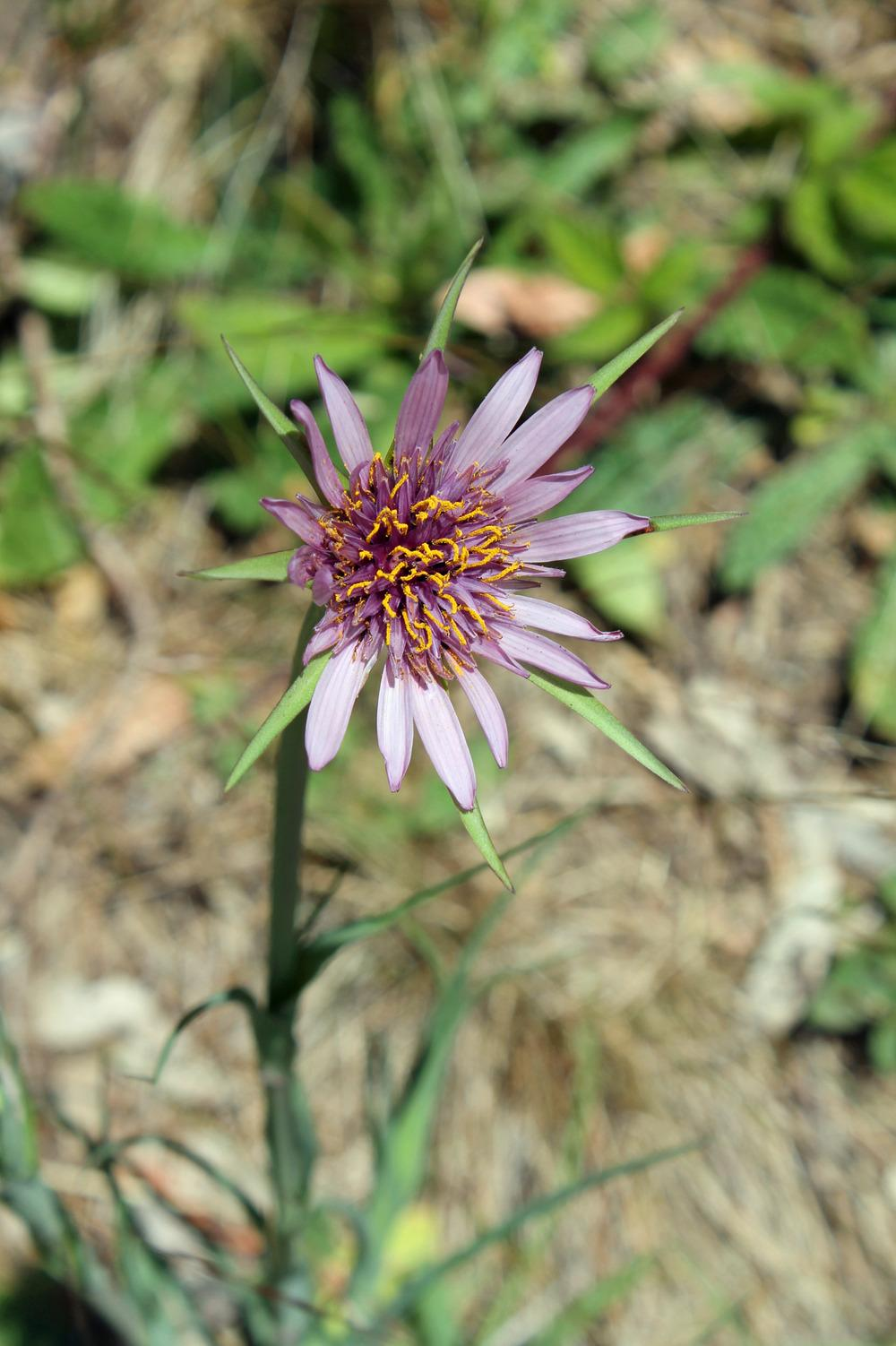 Photo of Salsify (Tragopogon porrifolius) uploaded by SongofJoy