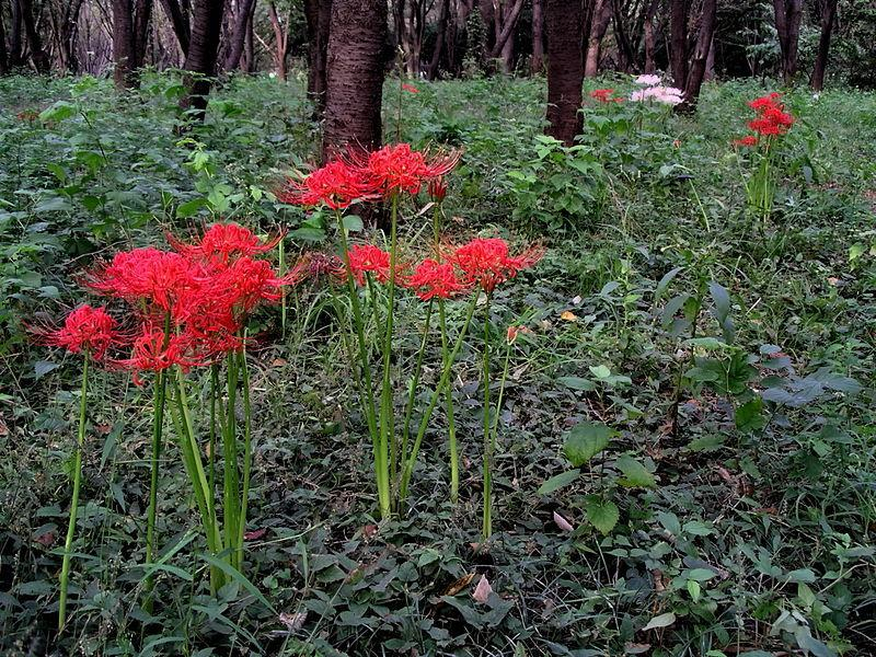 Photo of Red Spider Lily (Lycoris radiata) uploaded by SongofJoy