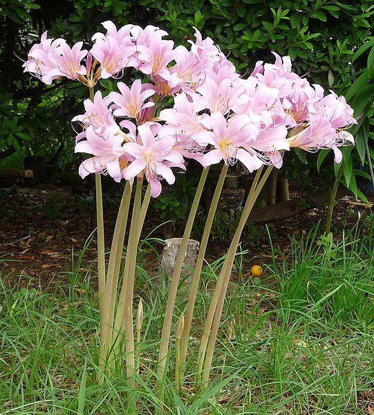 Photo of Surprise Lily (Lycoris squamigera) uploaded by SongofJoy