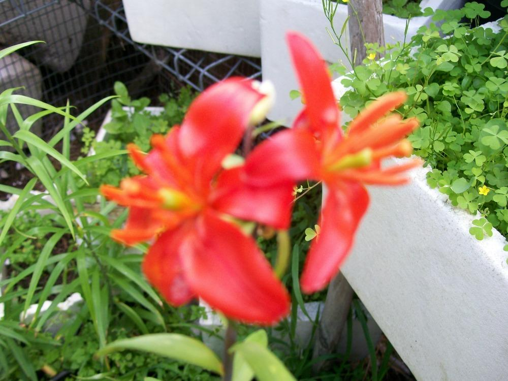 Photo of Lily (Lilium concolor var. partheneion) uploaded by gwhizz