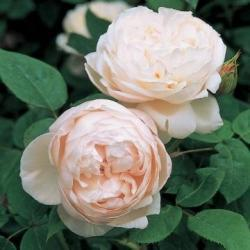 Thumb of 2012-12-04/Cottage_Rose/48027f