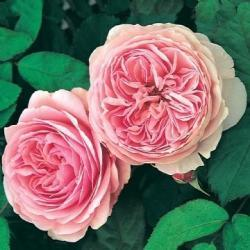 Thumb of 2012-12-04/Cottage_Rose/74c233