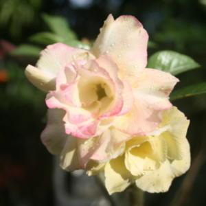 This Adenium starts pale yellow, with very nice form.  In shade,