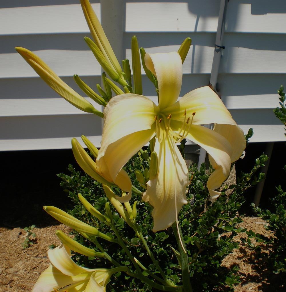 Photo of Daylily (Hemerocallis 'Carolyn's Curls') uploaded by janicewood549