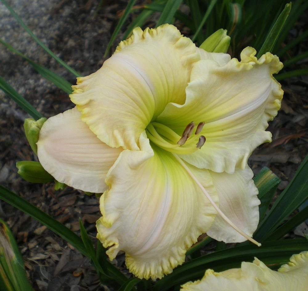 Photo of Daylily (Hemerocallis 'Cha Ching') uploaded by janicewood549