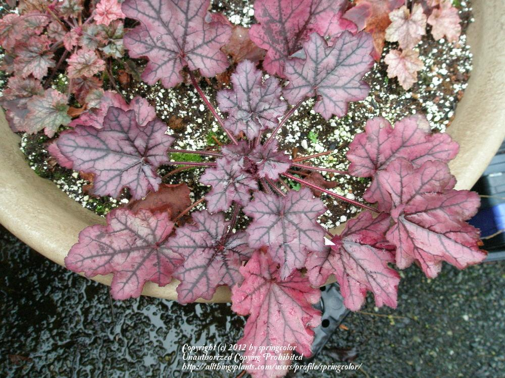 Photo of Coral Bells (Heuchera 'Spellbound') uploaded by springcolor