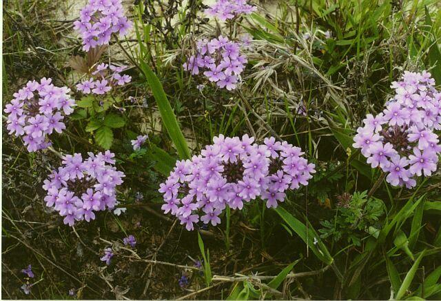 Photo of Rose Vervain (Glandularia canadensis) uploaded by SongofJoy