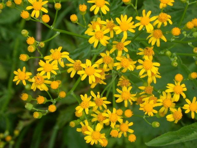 Photo of Woolly ragwort (Packera tomentosa) uploaded by SongofJoy