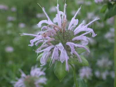 Photo of Wild Bergamot (Monarda fistulosa) uploaded by SongofJoy